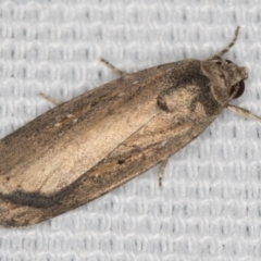 Athetis tenuis (A Noctuid moth) at Melba, ACT - 20 Feb 2021 by Bron