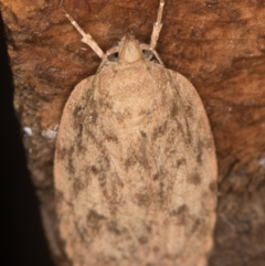 Garrha repandula (A Concealer moth) at Melba, ACT - 20 Feb 2021 by Bron