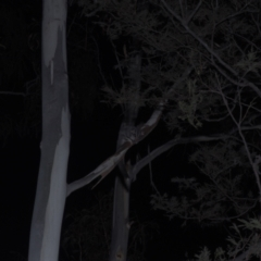 Petaurus breviceps (Sugar Glider) at Lower Cotter Catchment - 5 Mar 2021 by danswell