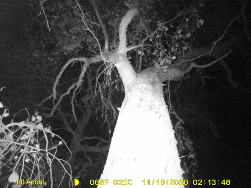 Acrobates pygmaeus at Wodonga - 19 Nov 2020