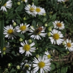 Symphyotrichum novi-belgii (Michaelmas Daisy) at Umbagong District Park - 6 Mar 2021 by pinnaCLE