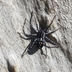 Nyssus sp. (genus) (TBC) at Piney Ridge - 6 Mar 2021 by tpreston