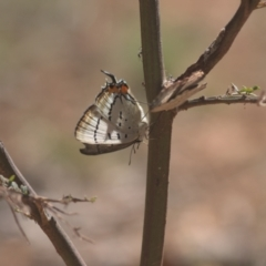 Jalmenus evagoras (Imperial Hairstreak) at Cotter River, ACT - 6 Mar 2021 by danswell