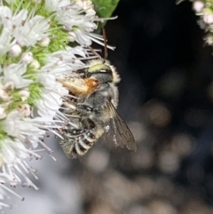Megachile (Eutricharaea) macularis at Murrumbateman, NSW - 5 Mar 2021