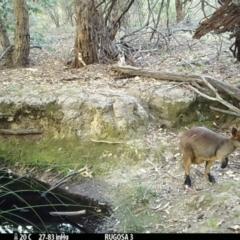 Macropus rufogriseus (Red-necked Wallaby) at Rugosa at Yass River - 3 Mar 2021 by SenexRugosus