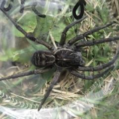 Tasmanicosa sp. (Wolf spider) at Wandella, NSW - 24 Feb 2021 by RobParnell