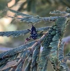 Neolaemosaccus sp. (genus) (A weevil) at Murrumbateman, NSW - 5 Mar 2021 by SimoneC