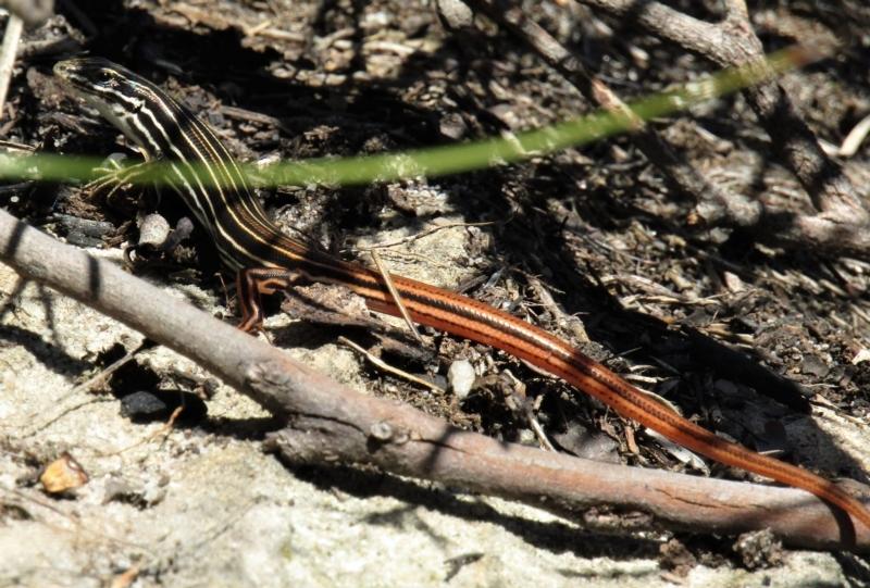 Ctenotus taeniolatus at Morton National Park - 6 Mar 2021