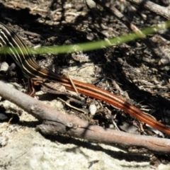 Ctenotus taeniolatus (Copper-tailed Skink) at Wingecarribee Local Government Area - 6 Mar 2021 by Sarah2019