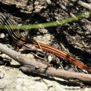 Ctenotus taeniolatus (Copper-tailed Skink) at Morton National Park by Sarah2019