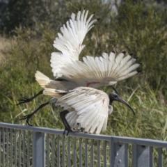 Threskiornis molucca (Australian White Ibis) at Gungahlin, ACT - 3 Mar 2021 by AlisonMilton