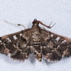 Nacoleia rhoeoalis (A Pyralid Moth) at Melba, ACT - 2 Mar 2021 by kasiaaus