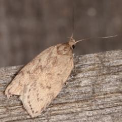Garrha (genus) (A concealer moth) at Melba, ACT - 2 Mar 2021 by kasiaaus