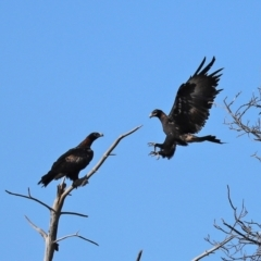Aquila audax (Wedge-tailed Eagle) at Tuggeranong Homestead - 6 Mar 2021 by RodDeb