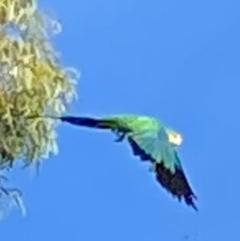 Polytelis swainsonii (Superb Parrot) at Wanniassa, ACT - 6 Mar 2021 by jksmits