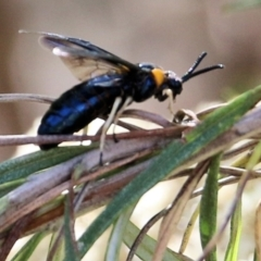 Scolia (Discolia) verticalis (Yellow-headed hairy flower wasp) at Jack Perry Reserve - 6 Mar 2021 by Kyliegw
