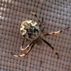 Backobourkia sp. (genus) (An orb weaver) at Aranda Bushland - 7 Mar 2021 by KMcCue