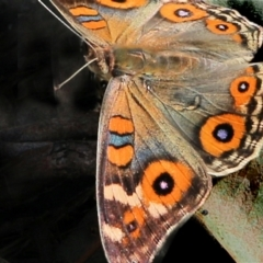 Junonia villida (Meadow Argus) at Jack Perry Reserve - 6 Mar 2021 by Kyliegw