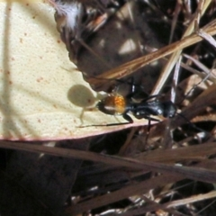 Unidentified Ant (Hymenoptera, Formicidae) (TBC) at Jack Perry Reserve - 6 Mar 2021 by Kyliegw