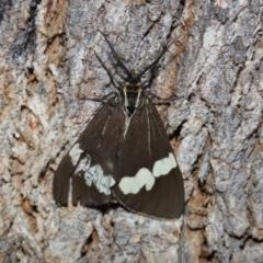 Nyctemera amicus (Senecio or Magpie moth) at Namadgi National Park - 6 Mar 2021 by RodDeb