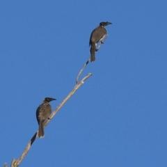 Philemon corniculatus (Noisy Friarbird) at Namadgi National Park - 6 Mar 2021 by RodDeb