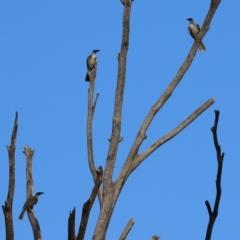 Philemon corniculatus at Namadgi National Park - 6 Mar 2021