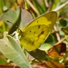 Eurema smilax (Small grass-yellow) at Symonston, ACT - 7 Mar 2021 by JohnBundock