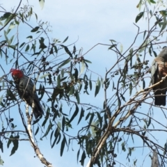 Callocephalon fimbriatum (Gang-gang Cockatoo) at The Pinnacle - 7 Mar 2021 by sangio7