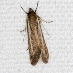 Philobota (genus) (Unidentified Philobota genus moths) at Melba, ACT - 6 Mar 2021 by Bron