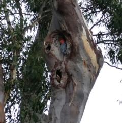 Callocephalon fimbriatum (Gang-gang Cockatoo) at Hawker, ACT - 24 Feb 2021 by sangio7