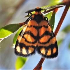 Asura lydia (Lydia Lichen Moth) at Coree, ACT - 5 Mar 2021 by JohnBundock