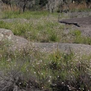 Actinotus forsythii at suppressed - 6 Mar 2021