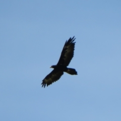 Aquila audax (Wedge-tailed Eagle) at Macgregor, ACT - 7 Mar 2021 by Christine