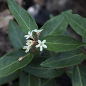 Marsdenia suaveolens at Morton National Park - 6 Mar 2021