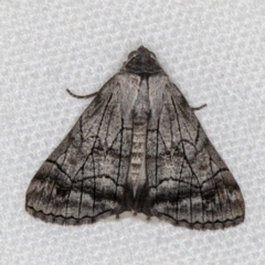 Stibaroma melanotoxa (Grey-caped Line-moth) at Melba, ACT - 6 Mar 2021 by Bron