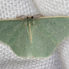 Chlorocoma dichloraria (Doubled-fringed or Guenee's Emerald) at Melba, ACT - 6 Mar 2021 by Bron