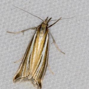 Hednota species near grammellus at Melba, ACT - 6 Mar 2021