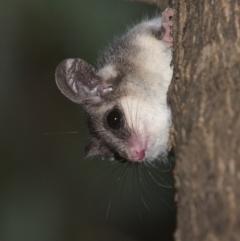 Cercartetus nanus (Eastern Pygmy Possum) at Lower Cotter Catchment - 6 Mar 2021 by TimotheeBonnet