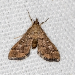 Nacoleia rhoeoalis (A Pyralid Moth) at Melba, ACT - 6 Mar 2021 by Bron