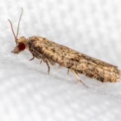 Isochorista ranulana (A Tortricid moth) at Melba, ACT - 6 Mar 2021 by Bron