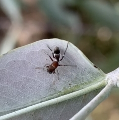 Myrmarachne sp. (genus) (Unidentified Ant-mimic jumping spider) at Murrumbateman, NSW - 7 Mar 2021 by SimoneC