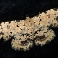 Sandava scitisignata (A noctuid moth) at Melba, ACT - 6 Mar 2021 by Bron