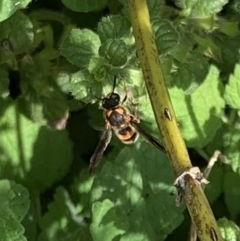 Eumeninae sp. (subfamily) (Unidentified Potter wasp) at Murrumbateman, NSW - 7 Mar 2021 by SimoneC