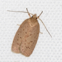 Garrha carnea (A concealer moth) at Melba, ACT - 6 Mar 2021 by Bron