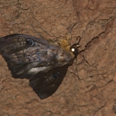 Dasypodia selenophora (Southern old lady moth) at Lower Cotter Catchment - 6 Mar 2021 by TimotheeBonnet