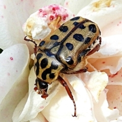 Neorrhina punctata (Spotted flower chafer) at Crooked Corner, NSW - 6 Mar 2021 by Milly