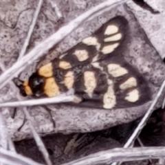 Asura lydia (Lydia Lichen Moth) at Aranda Bushland - 2 Mar 2021 by drakes