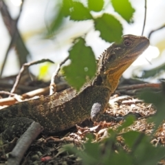Intellagama lesueurii (Eastern Water Dragon) at Lake Burley Griffin West - 7 Mar 2021 by wombey