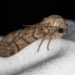 Stibaroma undescribed species (A Line-moth) at Melba, ACT - 23 Apr 2018 by Bron