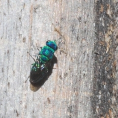 Chrysididae sp. (family) (Unidentified cuckoo wasp) at Tidbinbilla Nature Reserve - 6 Mar 2021 by Harrisi